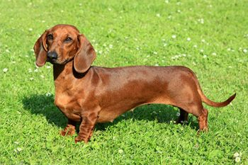 Dachshund Dog Daycare Portland